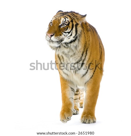 Tiger walking in front of a white background. All my pictures are taken in a photo studio