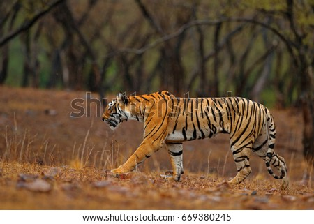 Shutterstock Tiger walking on the gravel road. Indian tiger female with first rain, wild animal in the nature habitat, Ranthambore, India. Big cat, endangered animal. End of dry season, beginning monsoon.