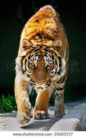 tiger walking toward me and staring eyes to eyes Tiger Panthera tigris altaica