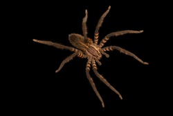 Tiger wandering spider and black background