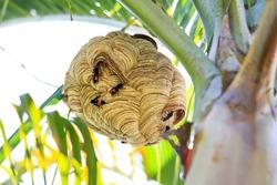 Tiger wasp nest at coconut tree