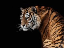 Tiger, wild cats, big cats