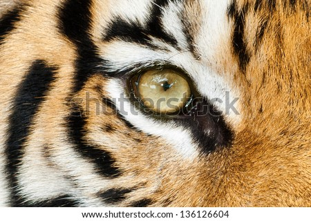Tiger wild dangerous predator carnivore stripes endangered zoo tiger,paws captivity camouflage big cat