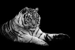 Tiger with a black Background in B&W