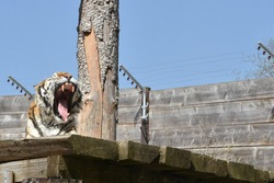 Tiger with an open mouth showing teeth and a tongue in front view. He is sitting on a wooden platform. An example of animal living in captivity.