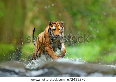 Tiger with splash of water. Action wildlife scene with wild cat, nature habitat. Tiger running in the water. Dangerous animal, taiga in Russia. Animal in the forest stream. #672433270