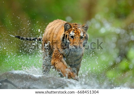 Tiger with splash of water. Tiger Action wildlife scene, wild cat in nature habitat. Amur tiger running in water. Dangerous animal in taiga in Russia. #668451304