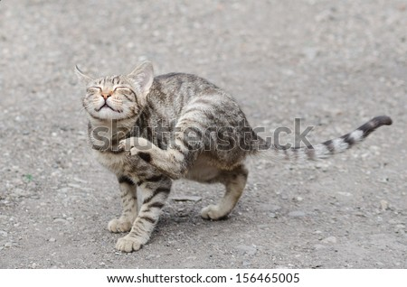 tigerish cat scratching