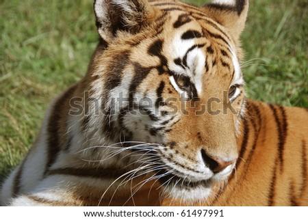 Tigers #61497991