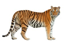Tigers are in the nature of the country.