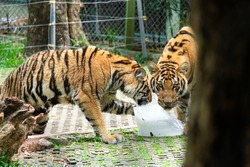 Tigers are licking a big ice cube to cool down.