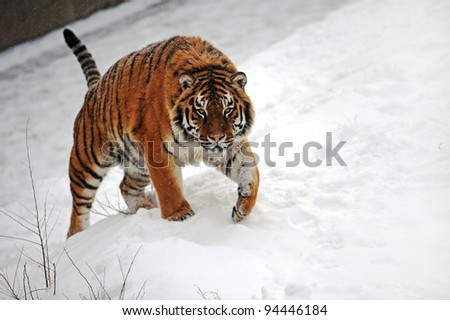 Tigers in winter
