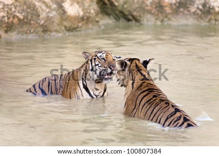 tigers looking to each other and play in water
