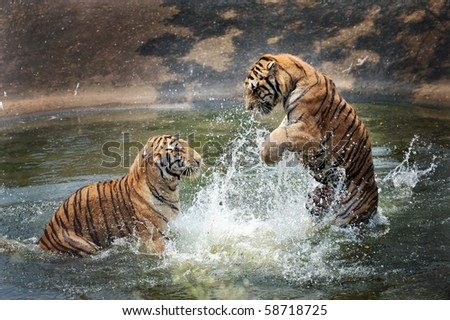 stock photo tigers play in the water 58718725 - Каталог — Фотообои «Животные»