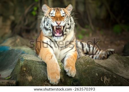 Tigers roar sleeping on rocks. #263570393