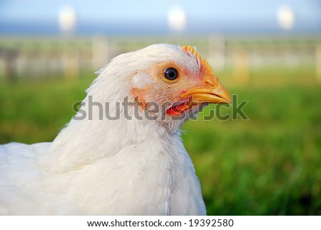 Tight shot of chicken
