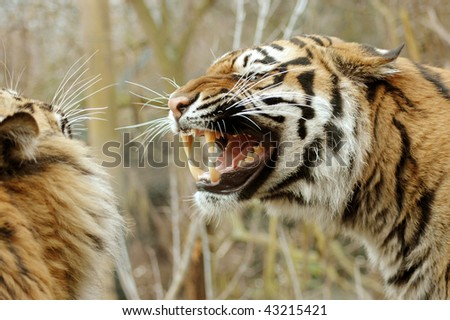 Tigress fiercely growling at the tiger.