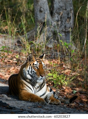 Tigress. / In a sunny day the tigress lies on a wood glade. India.Bandhavgarh National Park