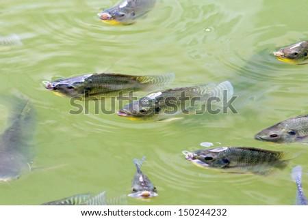 Tilapia Fish in farm
