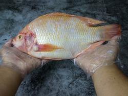 Tilapia fish, man's hands put plastic gloves on a black stone floor.