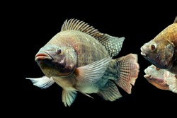 tilapia isolated species cichlid fish black tank live mozambique tilapia oreochromis mossambicus isolated on black studio aquarium shot tilapia isolated species cichlid fish black tank live colour pup