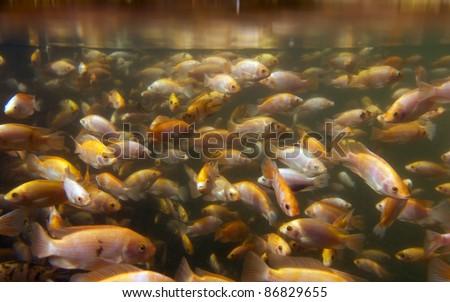 Tilapia underwater at a fish farm