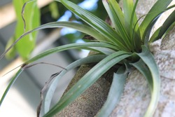 Tillandsia utriculata, also known as the giant air plant, is a type of epiphyte that is growing on the side of a tree outdoors in Florida.