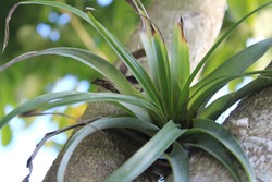 Tillandsia utriculata is an air plant native to Florida. Also known as giant air plant, is epiphyte is growing on the side of a tree.