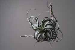 Tillandsia Xerographica setting on wood stick in isolated grey background. Tillandsia Xerographica is a species in the genus Tillandsia.