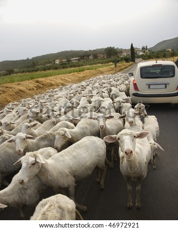 Tilted view of sheared sheep on rural road with a car trying to pass. One sheep is looking at the camera. Vertical shot.