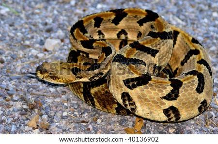 Timber Rattlesnake Stock Photo 40136902 : Shutterstock