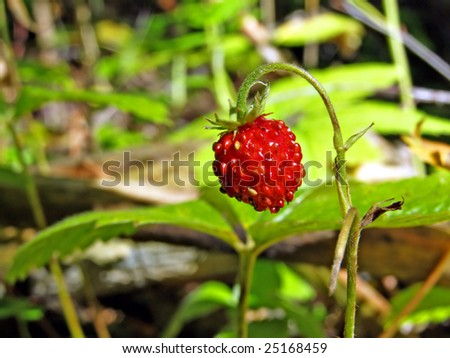 timber strawberry #25168459