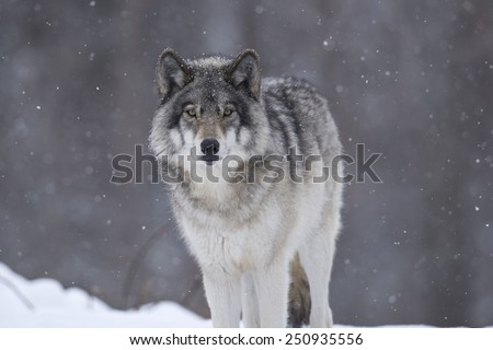 Timber wolf #250935556