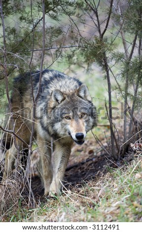 Timber Wolf (Canis lupus) creeps through brush - captive animal