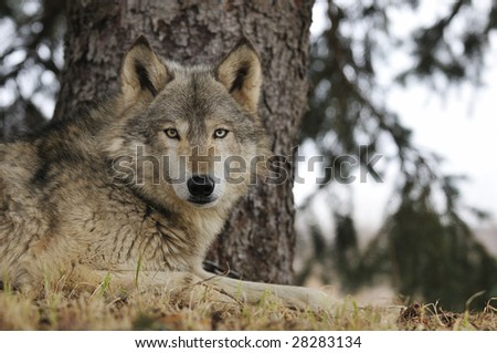 Timber Wolf (Canis lupus) Hangs out under Pine Tree - captive animal
