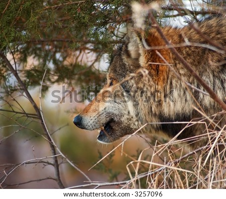Timber Wolf (Canis Lupus) looks out from hiding place in brush - captive animal