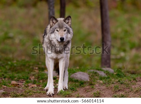 Timber wolf (Canis lupus) standing in a field in autumn in Canada #566014114