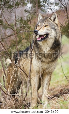 Timber Wolf (Canis lupus) stands on hill amongst brush - captive animal
