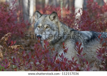Timber wolf in fall blueberry bushes