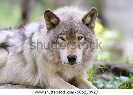 Timber wolf lying on the ground looking at camera #506258929