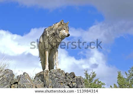 Timber wolf on a Montana ridge