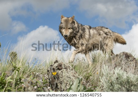 Timber wolf on Montana ridge