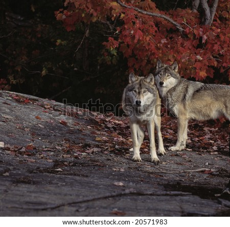Timber wolves against red maple leaves