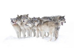 Timber wolves or grey wolves Canis lupus, isolated on white background, timber wolf pack standing in the falling snow in Canada