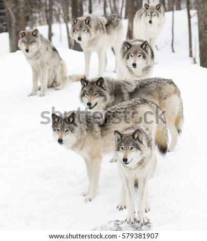 Stock Photo Timber wolves or grey wolves (Canis lupus), timber wolf pack standing against a white snowy background in Canada