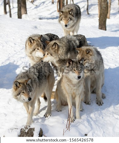 Timber wolves or grey wolves Canis lupus, timber wolf pack standing in the snow in Canada
