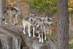 Timber wolves or grey wolves Canis lupus wolf pack standing together on a rocky cliff in autumn in Canada