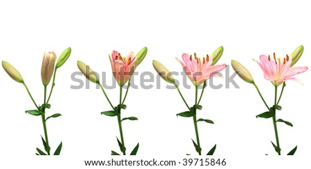 Time-lapse series of a single pink lily opening.