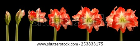 Time lapse series of red amaryllis flowers blooming.