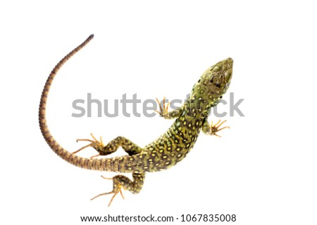 Timon lepidus (ocellated lizard) juvenile Foto stock ©